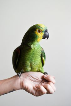 Free Parrot On Hand Stock Photography - 82991062