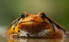 Free Orange And Black Frog Royalty Free Stock Photography - 82991117