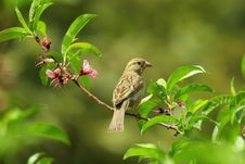 Free Gray Small Bird On Green Leaves Stock Photo - 82991240