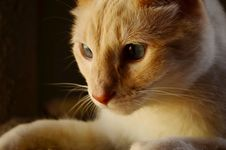 Free Orange And White Tabby Cat Royalty Free Stock Image - 82991266