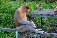 Free Brown Gray Primate Royalty Free Stock Images - 82991479