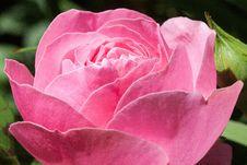 Free Pink Rose Bloom Stock Photos - 82991593
