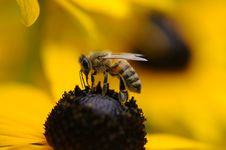 Free Tilt Shift Lens Photography Of Yellow And Black Bee Royalty Free Stock Photos - 82991638