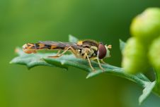Free Brown And Yellow Robber Fly Perched On Green Leaf During Daytime Stock Photography - 82991672