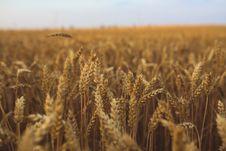 Free Golden Grain Stock Photos - 82991693
