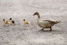 Free White And Brown Duck With Yellow And Black Ducklings Walking In Gray Floor During Daytime Royalty Free Stock Photo - 82991895