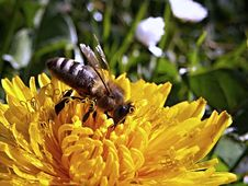 Free Yellow Bee On A Yellow Flower During Daytime Royalty Free Stock Image - 82992156