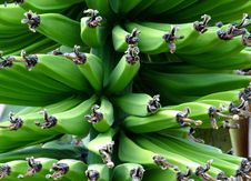 Free Green Bananas In Bunch Stock Photography - 82992252