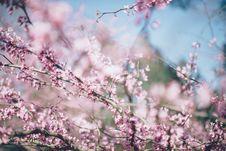 Free Cherry Blossom Tree Royalty Free Stock Photography - 82992267