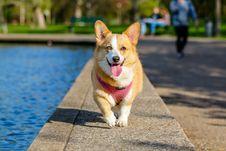 Free Corgi Dog Outdoors Stock Images - 82992434