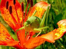 Free Green Grasshopper On Red 5 Petaled Flower Stock Photo - 82992580