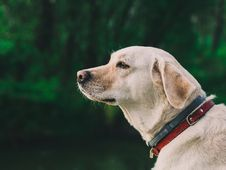 Free Portrait Of Labrador Retriever Outdoors Royalty Free Stock Photos - 82992778
