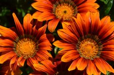 Free Orange Gazania Stock Photo - 82992790