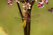Free Brown Dragonfly Near Flower Stock Images - 82992964