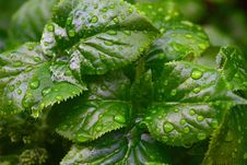 Free Rain Drops On Green Leaf Plant Close Up Photography Royalty Free Stock Photo - 82993055