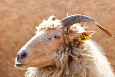 Free Brown Sheep With Yellow Tag On Ear Royalty Free Stock Photos - 82993498