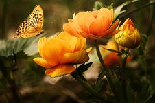 Free Orange Flower With Butterfly Stock Image - 82993551
