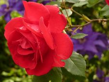 Free Close Up Photo Of Red Rose Stock Image - 82993561