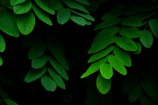 Free Green Leaves Plant Royalty Free Stock Photography - 82993617