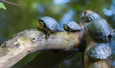 Free Gray Turtles Crawling On Tree Brunch Stock Image - 82993621