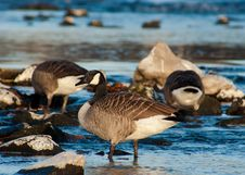 Free Geese On Lake Stock Photography - 82993622
