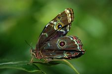 Free Brown White And Red Butterfly On Green Leaf Royalty Free Stock Image - 82993646
