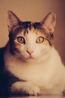 Free Calico Cat Royalty Free Stock Images - 82993669
