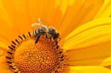 Free Bumble Bee On Yellow Daisy Royalty Free Stock Image - 82993726