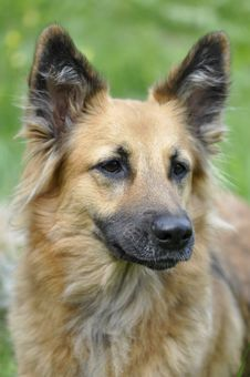 Free Brown Medium Size Dog Royalty Free Stock Photos - 82994008