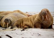 Free Brown Walrus On White Sand During Daytime Royalty Free Stock Photos - 82994178