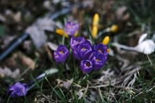 Free Purple Crocus Flowers Royalty Free Stock Images - 82994229