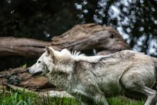 Free Gray And White Wolf Stock Photography - 82994302