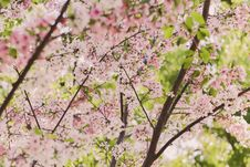 Free Pink And White Cherry Blossoms Royalty Free Stock Photo - 82994365
