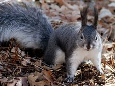 Free Black And White Squirrel Royalty Free Stock Photos - 82994418