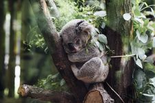 Free Gray Koala Between Brown Tree Barks Royalty Free Stock Images - 82994509