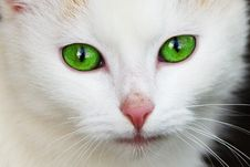 Free White Coated Cat With Green Eyes Stock Images - 82994514