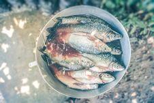 Free Bucket Of Freshly Caught Tilapia Fish Stock Photo - 82994530