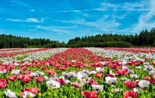 Free Red And White Flowers Under Blue Sky During Daytime Stock Photos - 82994583