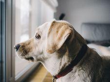 Free Yellow Labrador Retriever Facing Window In Room Royalty Free Stock Photo - 82994605