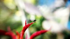 Free Black Insect On Red Plant Royalty Free Stock Images - 82994769