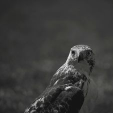 Free Hawk Bird Looking Over Shoulder Royalty Free Stock Photography - 82994947