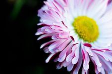 Free Daisy Flower Royalty Free Stock Photos - 82995268