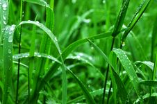 Free Dew Drops On Green Grass Royalty Free Stock Photography - 82996327