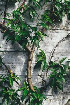 Free Green Eleptical Leaf Plant Growing Beside Gray Concrete Wall Royalty Free Stock Photography - 82996457