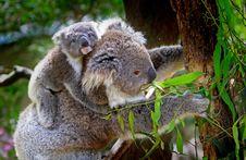 Free Grey And White Koala Bear Royalty Free Stock Photos - 82996468
