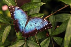 Free Blue And Black Butterfly On Green Leaves Royalty Free Stock Image - 82997236