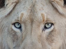 Free Close Up Photography Of Lion S Face Royalty Free Stock Image - 82997546