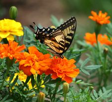 Free Black And Brown Butterfly On Top Of Orange Flower Royalty Free Stock Image - 82997926