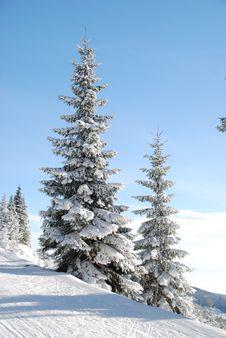 Free Snow Cap Pine Tree Royalty Free Stock Images - 82998169