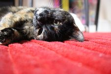 Free Brown And Black Medium Coat Cat Lying On Red Textile Stock Photo - 82998430